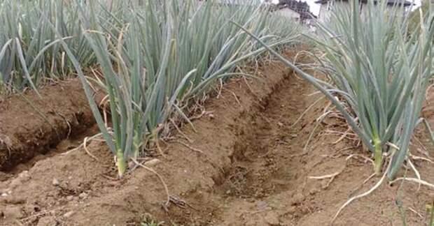 САД, ЦВЕТНИК И ОГОРОД. Лук на гребне - отличный урожай