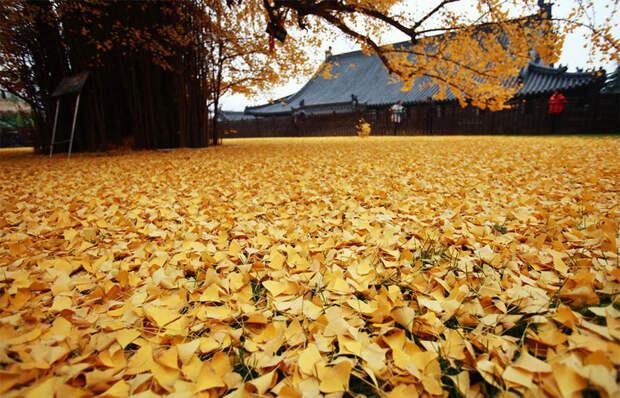 1400-летнее дерево осыпало буддийский храм горой ярко-желтых листьев