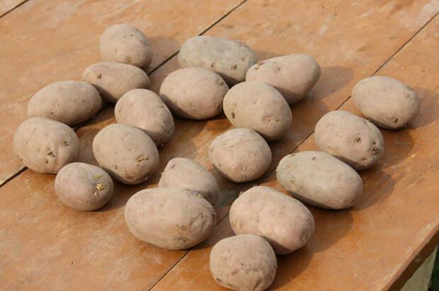 Зачем выращивать картофель на участке?