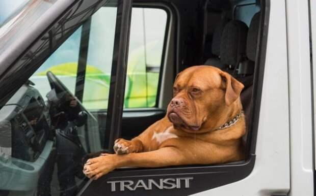 Пёс в кабине автомобиля