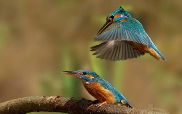 Зимородок неразрывно связан с водной стихией, обитает в непосредственной близости от источников пресной воды, по берегам рек и морским лагунам.