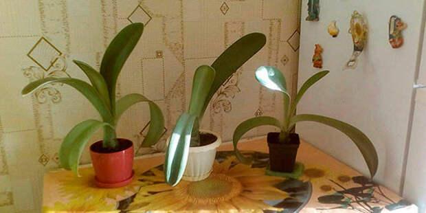 Олений язык – необычный комнатный цветок