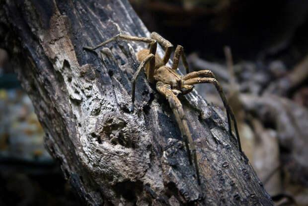 Бразильский странствующий паук. (Alberto Rossettini)
