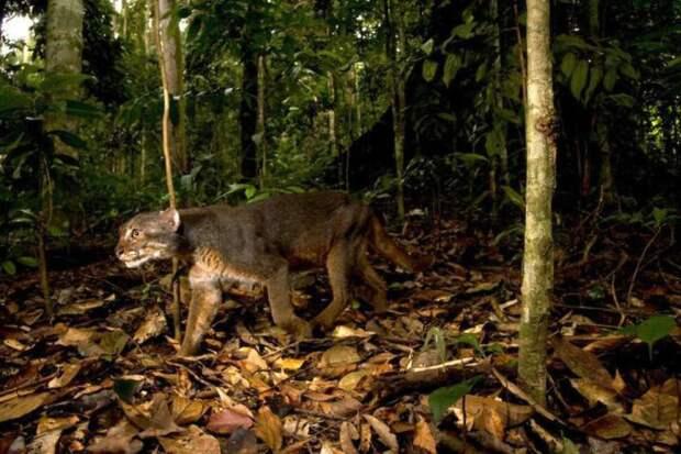 4. Кошка залива Борнео кошки, природа