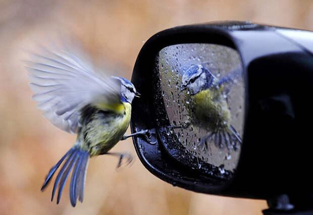 42. Птица и зеркало момент, фотография