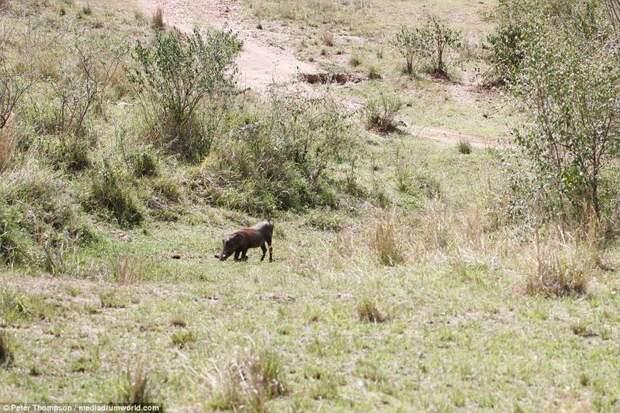 А вот и обед бородавочник, животные, леопард, охота, рыжок