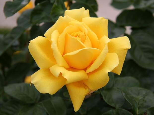 Rosa cultivars by alphabet Picture Gallery - Photo Gallery - Images