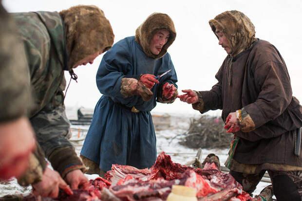 Ненцы делят свежее сырое мясо оленей в своем лагере, примерно в 200 км от Салехарда. Legion Media