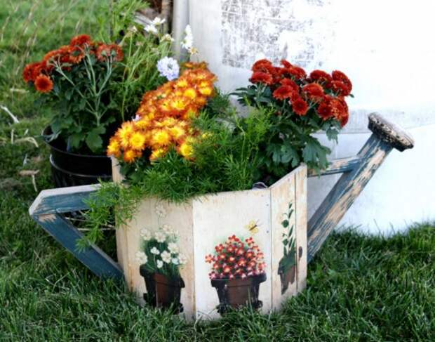 Горшечные хризантемы