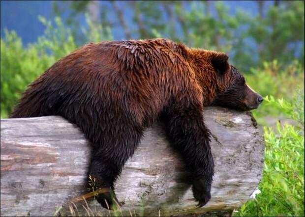 Что происходит с организмом медведя во время спячки.