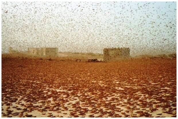 Люди до сих пор борются с подобным явлением, зачастую безуспешно инсектофобия, интересное, много, насекомые, природа, рой, скопление