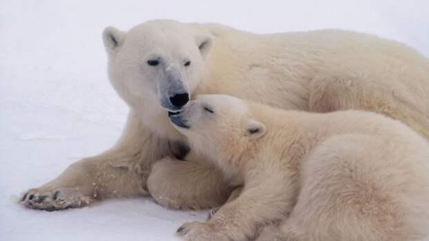 Белые медведи иморжи— наосмотр становись