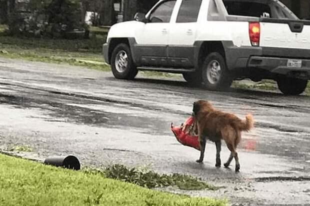 Пёс упорно тащил тяжёлый пакет до самого порога