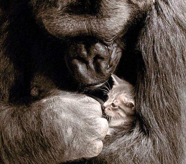 горилла и котёнок
