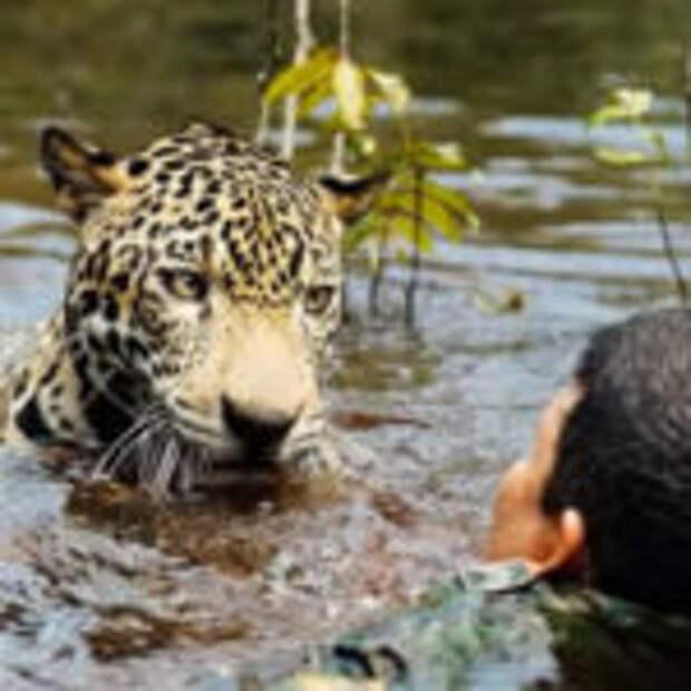 Ягуар упал в поток воды, но человек не побоялся прийти на помощь