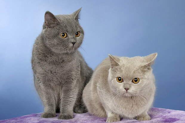 http://brit-cats.ru/wp-content/uploads/2014/08/buenna-mirabella.jpg