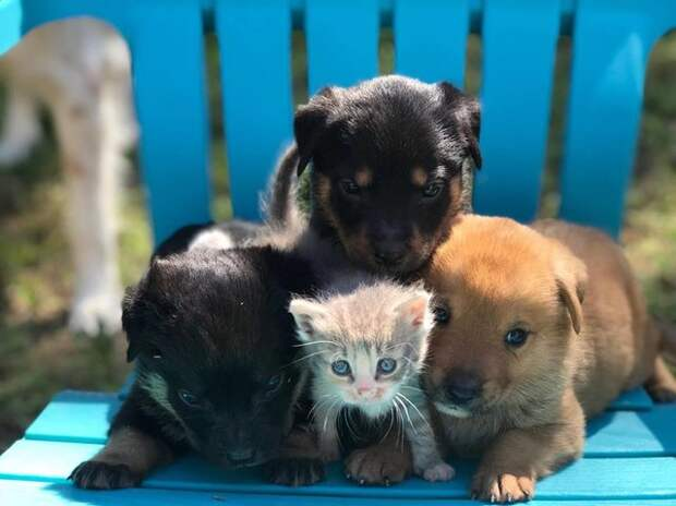 Любящая собака выкормила девятерых чужих щенков и котенка впридачу