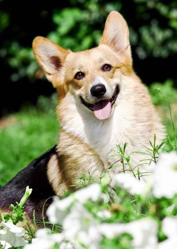 Вельш-корги-пемброк, фото собаки картинка