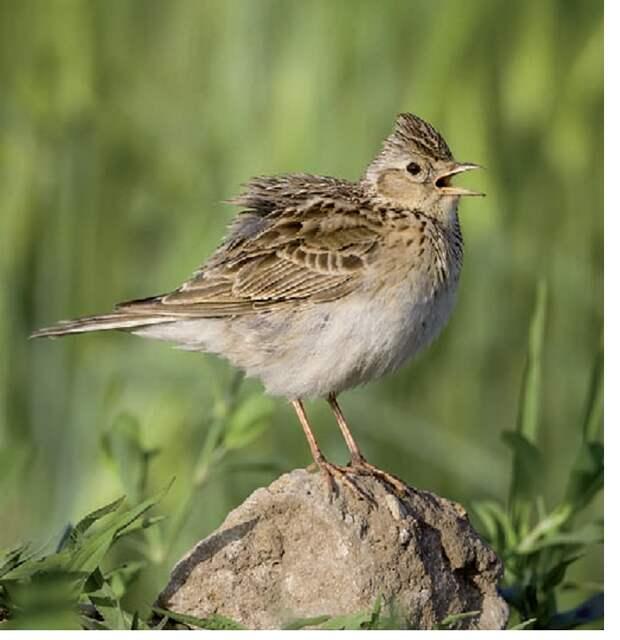 Рис. 6. Как у многих других птиц с/х ландшафта, у полевого жаворонка до середины 1990-х гг. фиксируется рост численности, а потом — сильный спад.