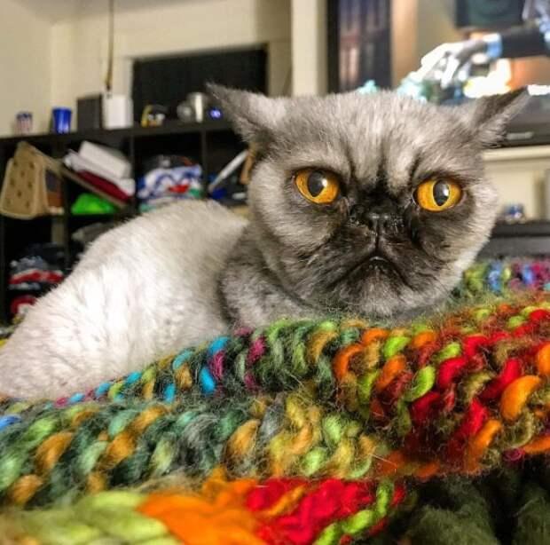 Необычный кот, похожий на мопса, с непростой судьбой
