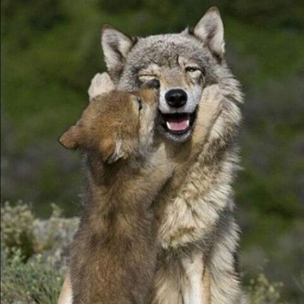 Волки детеныши, дети, животные, забота, звери