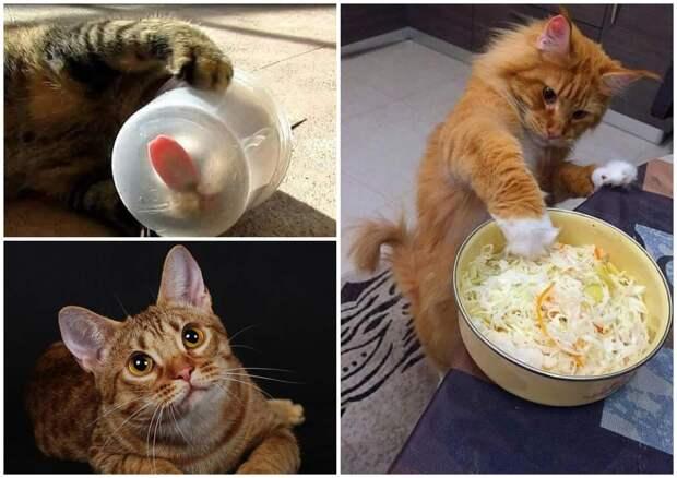 На фото изображены коты, которые едят капусту, вылизывают контейнер.