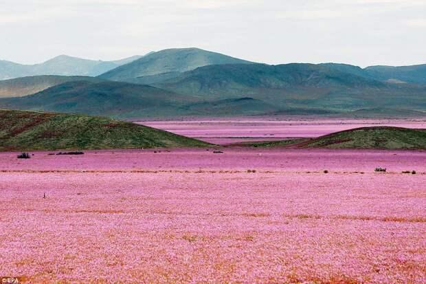 Ковёр из цветов в пустыне Атакама