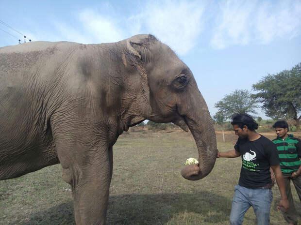 Спасение 60-летней слонихи слониха, спасение