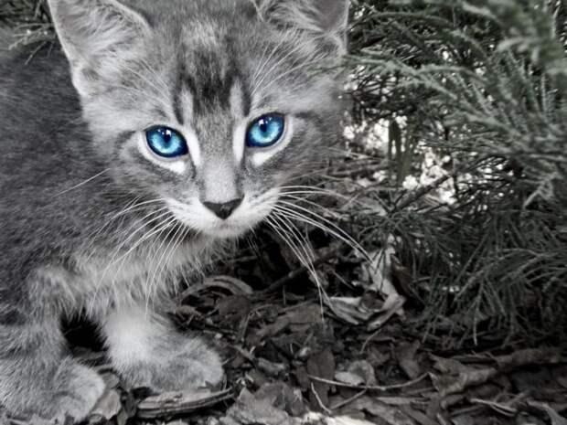 котёнок голубоглазый (700x525, 116Kb)