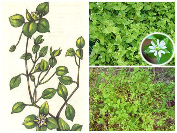 Мокрица (звездчатка) дача, рецепты, сорняки