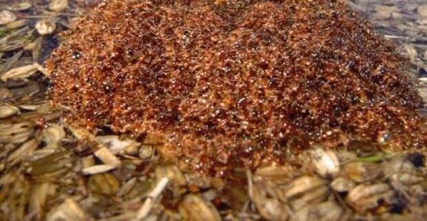 Миграция муравьев. Муравьи вида Dorylus могут даже пересекать широкие и быстрые реки, чтобы их переплыть они собираются в шары инсектофобия, интересное, много, насекомые, природа, рой, скопление