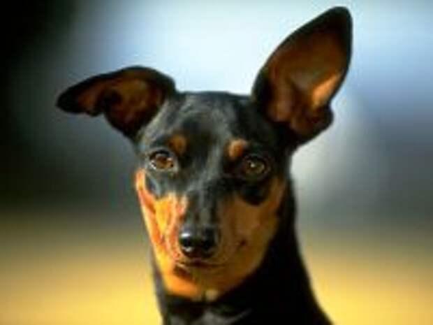 http://zooclub.ru/skat/img.php?w=300&h=150&img=./attach/fotogal/oboi/dogs/16.jpg