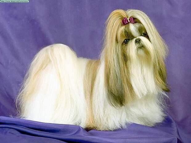 Ши-тцу Питомники Фото Щенки Шитцу Chinese Imperial Dog,Little Lion Dog - Породы Собак