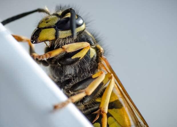 Ученые разработали антибиотик на основе яда осы