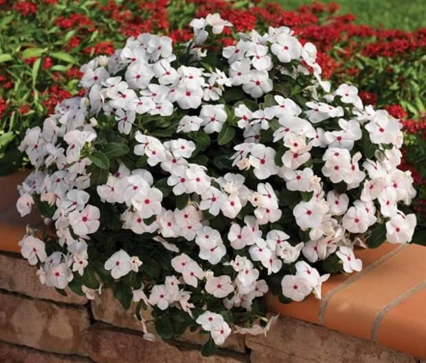 Катарантус розовый (Catharanthus roseus), в садоводстве больше известен под названием барвинок розовый (Vinca rosea)