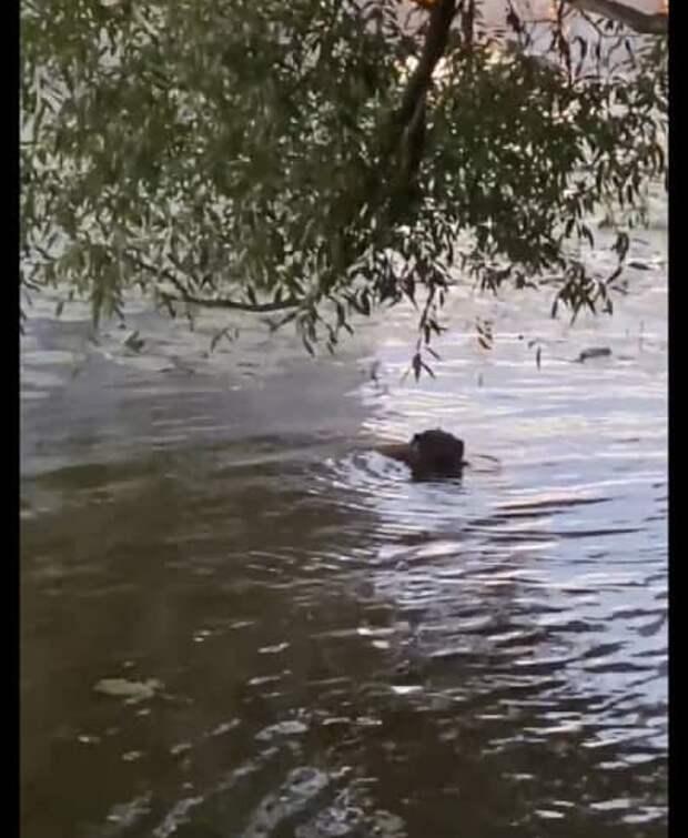 Видео: бобёр умывается в Щукинском парке
