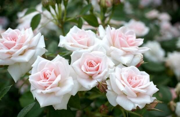 Розы, цветы, сад, резкость, нежность обои, фото, картинки