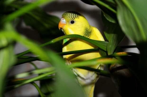 Как научить волнистого попугая говорить быстро и правильно
