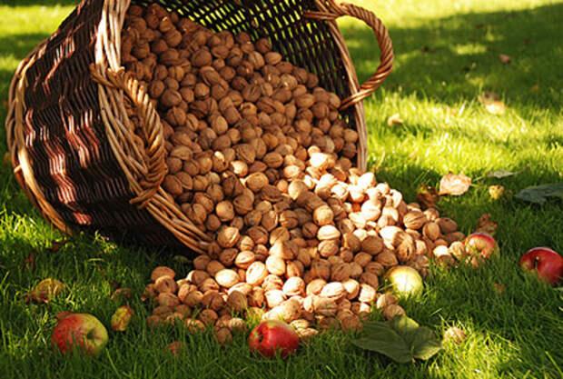 Создаем ореховый сад: и польза, и выгода