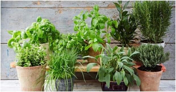 Лучшие травы-компаньоны для Вашего подоконника