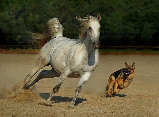 4. Собака и лошадь . Арабские лошади распространились по всему миру благодаря войнам и торг