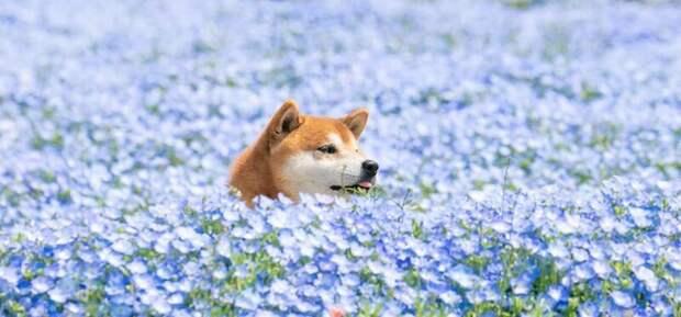 Сиба-ину - символ и национальное достояние Японии Хати, животные, парк, сиба-ину, собака, фото, цветы, япония