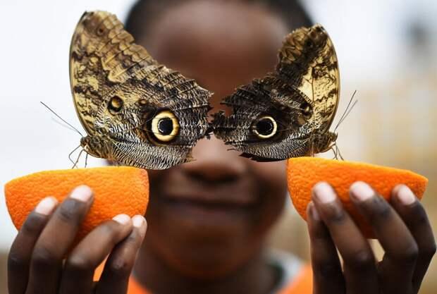 Бабочки калиго