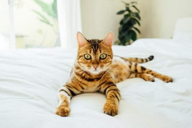 Москвичка отказалась от вознаграждения в 30 000 рублей за найденную бенгальскую кошку