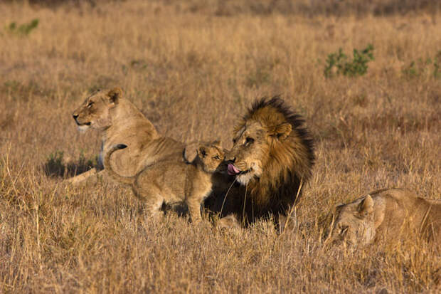Львиная любовь - очень нежные фото