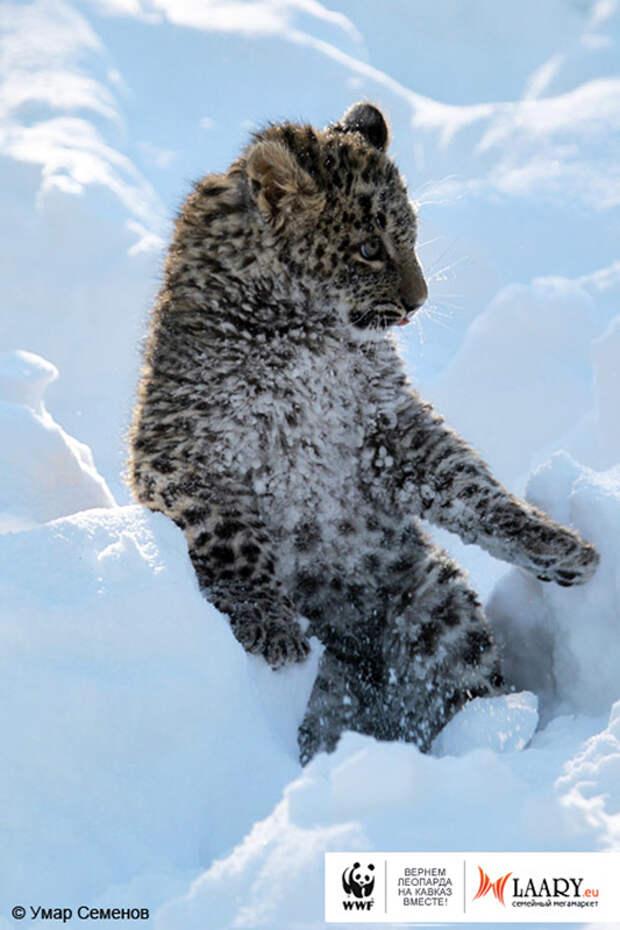 5 Гром в снегу на задних лапах1 2 Уникальный представитель исчезающего вида