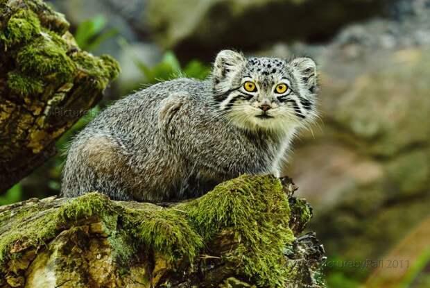 8. Манул кошки, природа