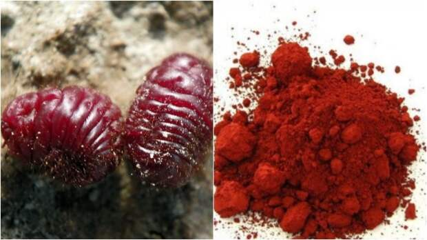 В древности источником красной краски было насекомое кошениль / Фото: picgalleria.com
