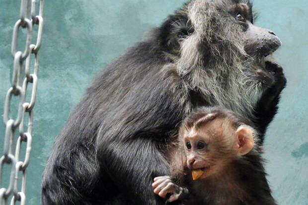В Московском зоопарке у львинохвостой макаки родился второй детеныш за год
