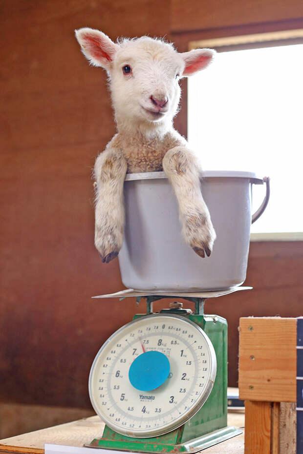 Как в зоопарках взвешивают животных